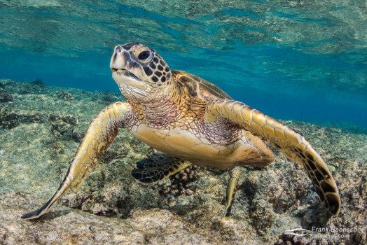 A green sea turtle (Chelonia mydas) on a shallow reef.