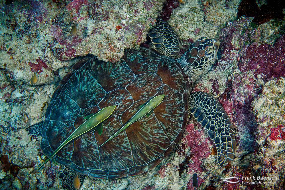 Two remoras attached to the carapace of a green sea turtle (Chelonia mydas) in Palau. Some cultures used remoras to catch turtles. A line is fastened to the remora's tail, and when a turtle is sighted, the fish is released from the boat. It usually heads directly for the turtle and fastens itself to the turtle's shell. When the remora is hauled in so is the turtle.