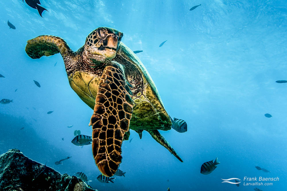 Green turtle (Chelonia mydas) circling in the turquoise waters of Hawaii. Over 90% of the Hawaiin Green Sea Turtle's nesting activity occurs at French Frigate Shoals in the Papahānaumokuākea Marine National Monument (Northwest Hawaiian Islands). Hawaii.