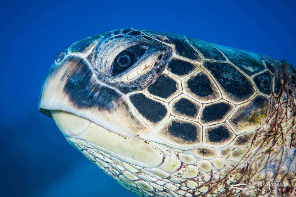 Head shot of a green sea turtle (Chelonia mydas). Hawaii.