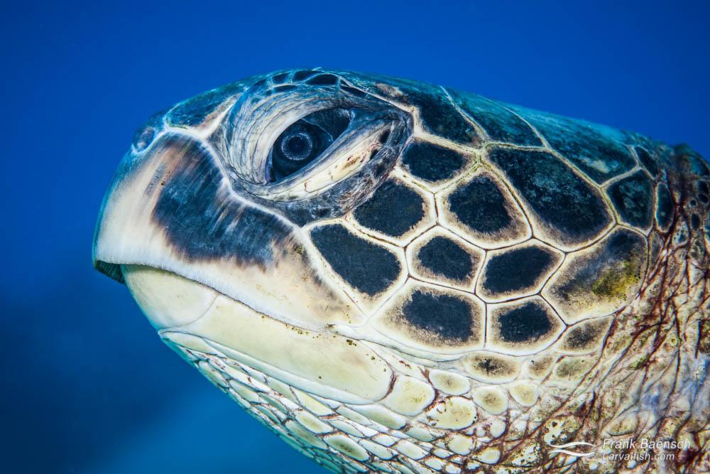 Head shot of a green sea turtle (Chelonia mydas). Hawaii.