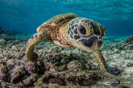 Head on shot of  green sea turtle (Chelonia mydas) on a shallow reef.