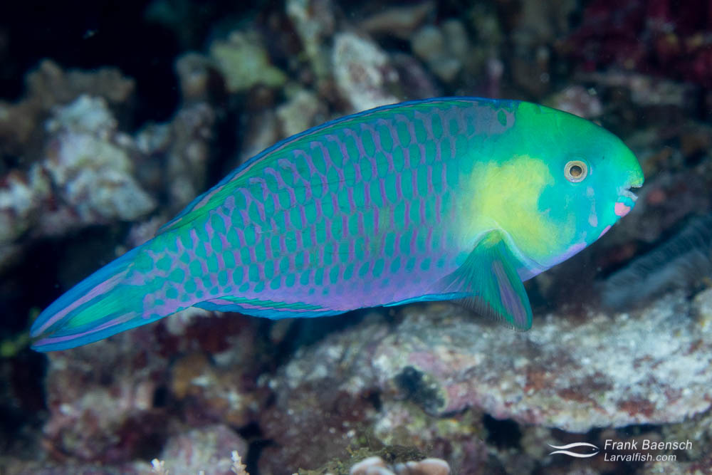 A greensnout parrotfish (Scarus spinus) on a reef in the Solomon Islands. Parrotfish have mesmorizing color patterns!
