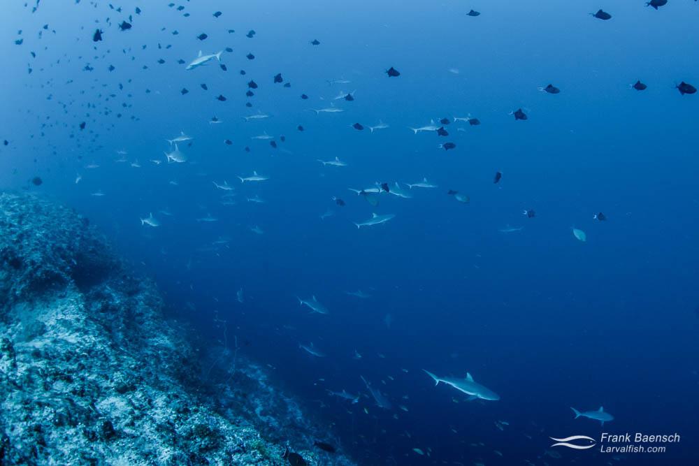 Grey reef sharks (Carcharhinus amblyrhynchos) on a deep reef in Palau.