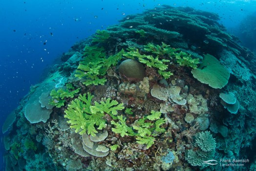 Healthy, unbleached hard coral reefs are widepsread in the Solomon Islands.