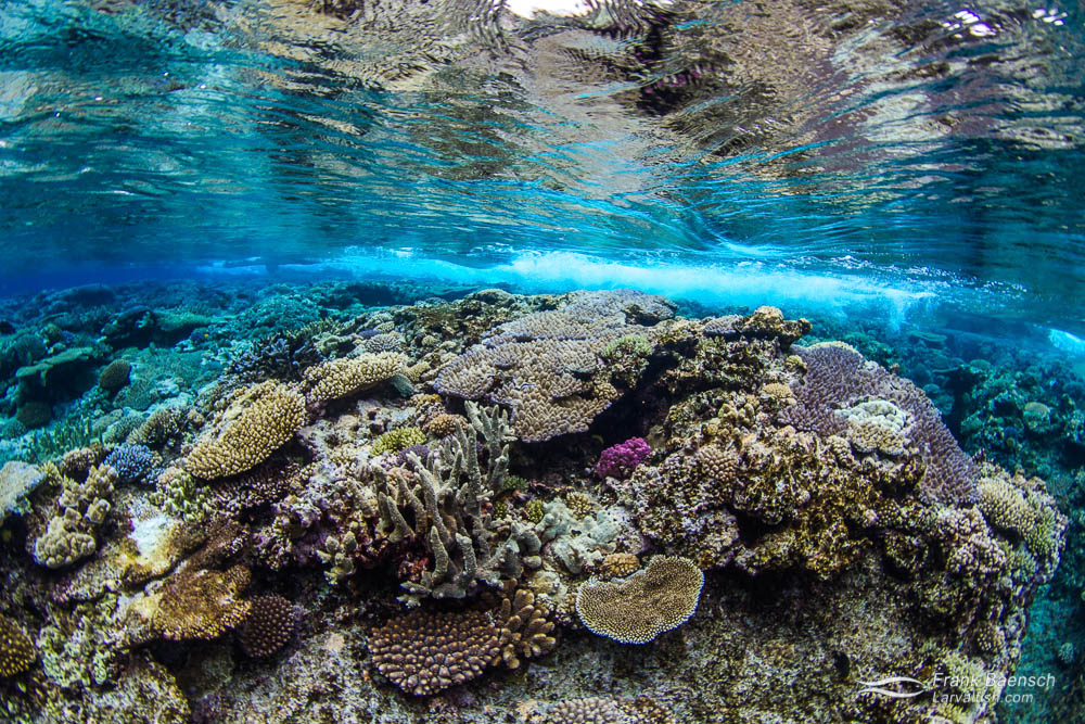 Hard coral reef reflecting on the surface. Tonga.
