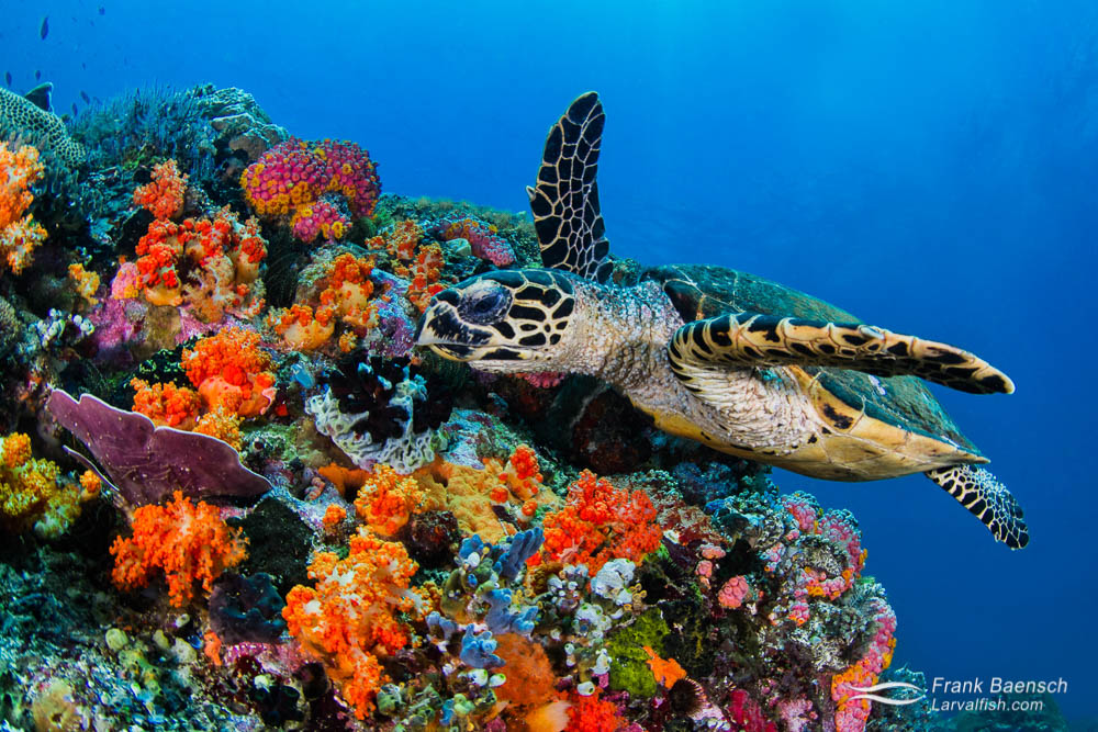 A hawksbill sea turtle (Eretmochelys imbricata) swims past colorful soft corals. Indonesia.