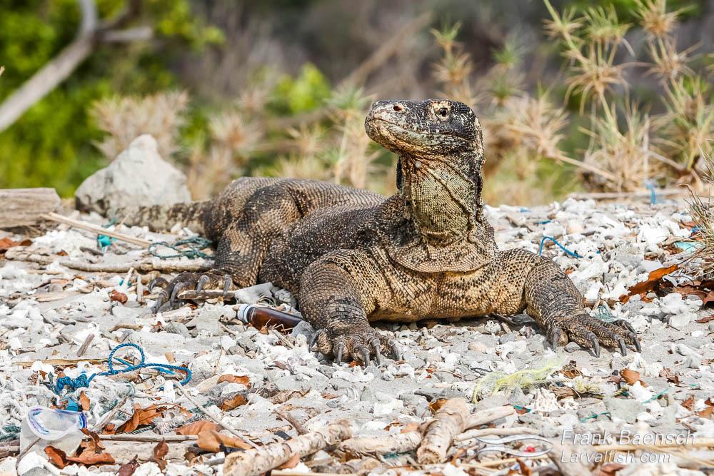 Komodo dragon (Varanus komodoensis) on a trashy pebble beach in Komodo National Park. Indonesia.