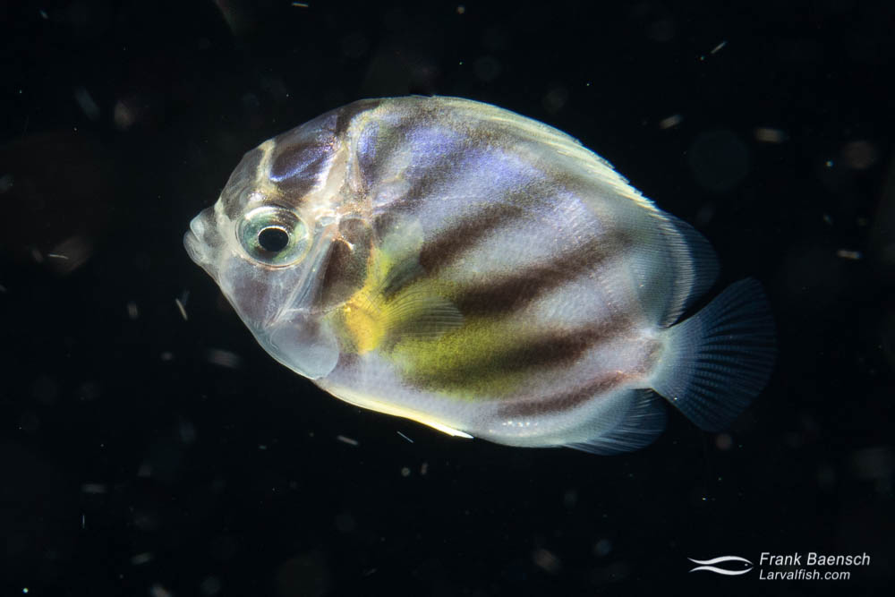 """This Meyer's butterflyfish  (Chaetodon meyersi) larva is about to settle on the reef. At close to 2"""", Meyer's butterflyfish settle out much larger than other butterflyfishes. Solomon Islands."""