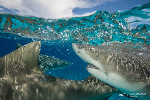 Lemon sharks (Negaprion brevirostris) on the surface in turquoise waters of the  Bahamas.