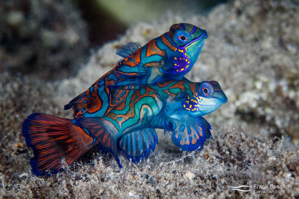 Mandarinfish (Synchiropus splendidus) pair in Palau.