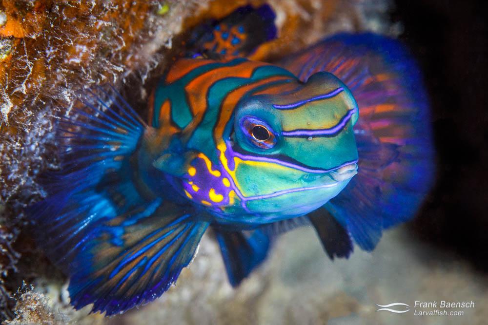 Mandarinfish (Synchiropus splendidus), arguably one of the most beautiful fish in the sea. Palau.