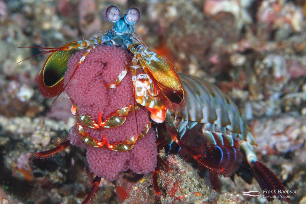 Head on shot of peacock mantis shrimp (Hemisquilla ensigera californiensis) carrying a large clutch of eggs. Philippines.