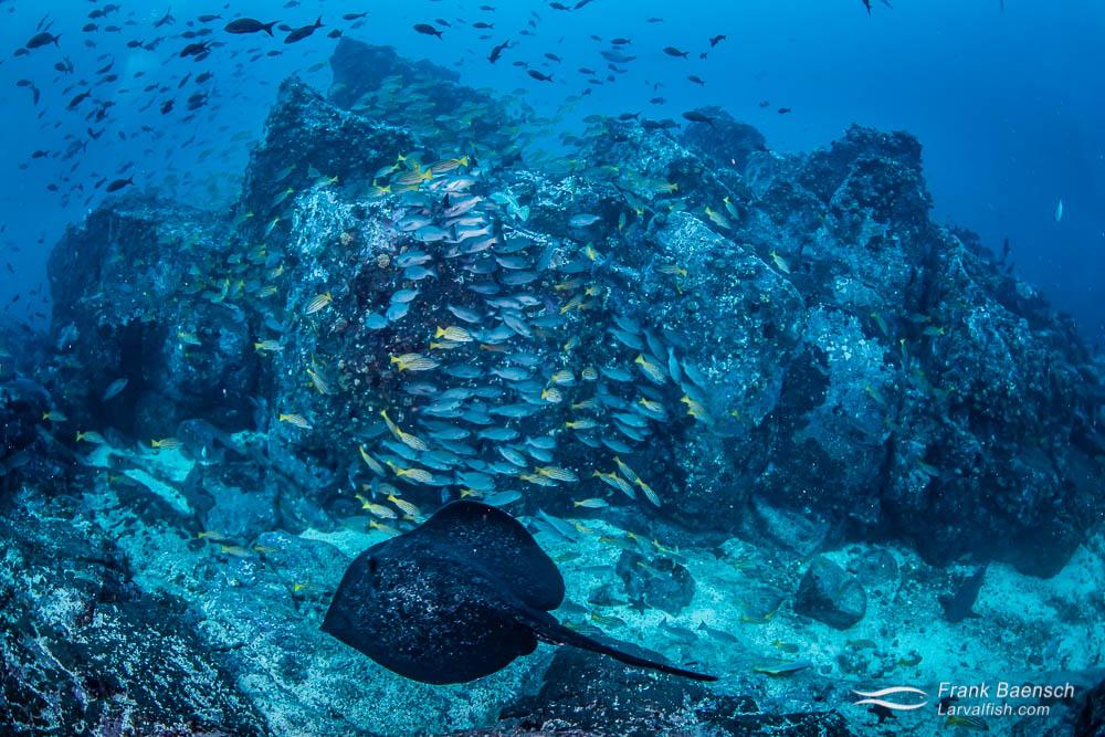 Marbled ray (taeniura meyeni)  and fish reef scene at Cocos Island. Costa Rica.