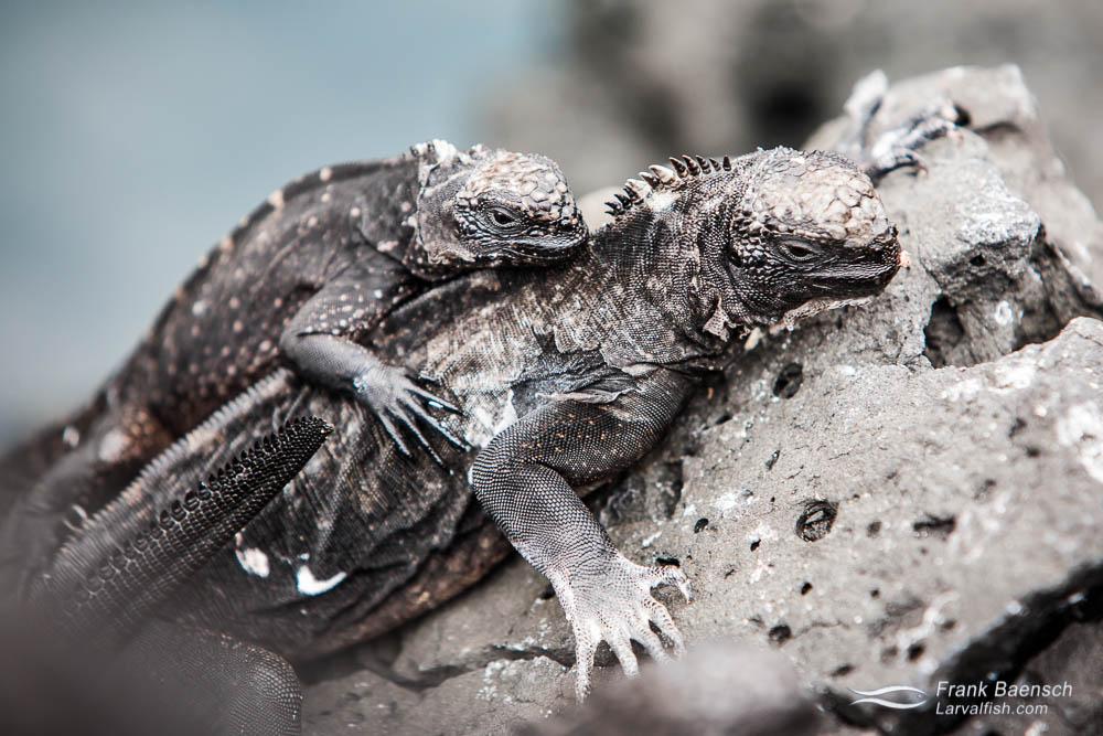 Marine iguanas (Amblyrhynchus cristatus). Galapagos Islands.