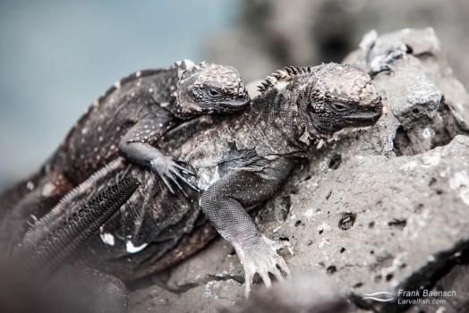 Marine iguanas (Amblyrhynchus cristatus).