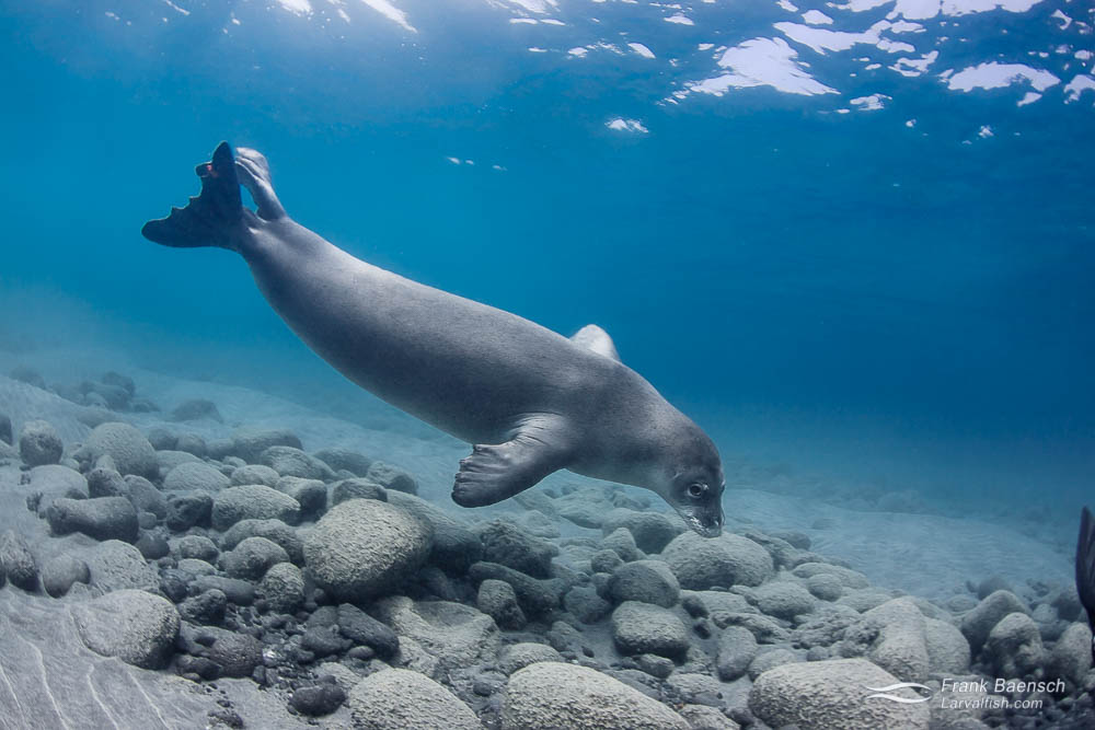 Hawaiian monk seal (Monachus schauinslandi) swims by curiously in the shallows.  Hawaii.