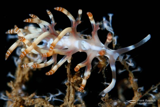 Flabellina nudibranch.