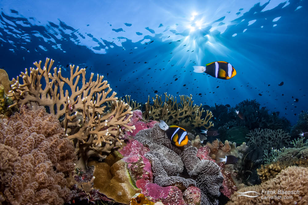 A pair of orange-finned anemonefish (A. chrysopterus) under sun rays settle in for the night. Solomon Islands.