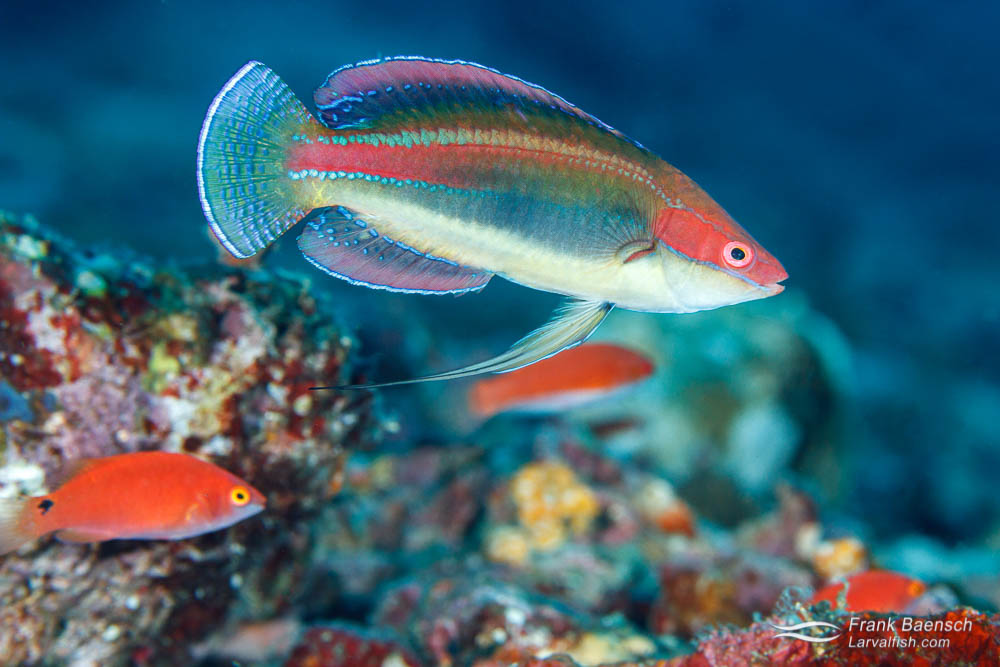 Male peacock fairy wrasse (Cirrhilabrus temminckii) with females in background. Philippines.