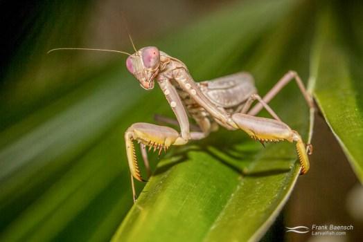 Praying mantis (Manodea sp.) in my garden.