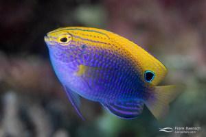 Princess damsel (Pomacentrus vaiuli). What a gorgeous fish! Solomon Islands.