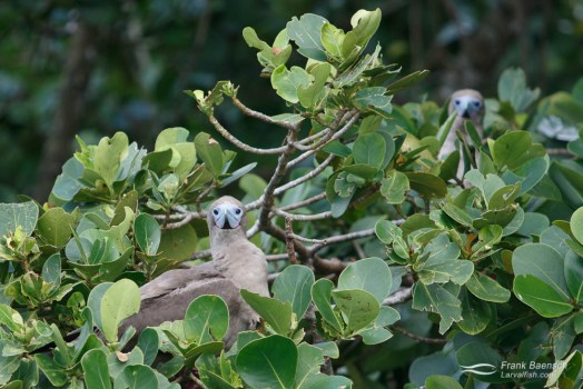 Red-footed boobys. Cocos Island.