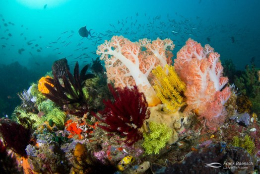 Colorful soft coral reef scene.