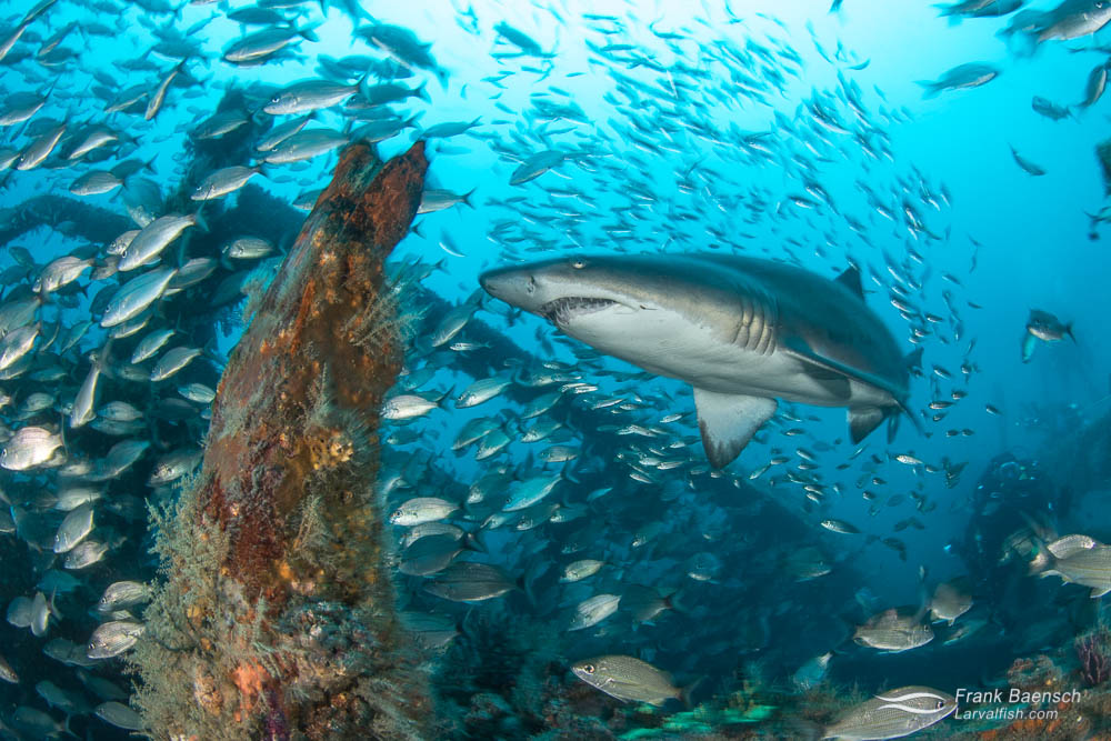 A sand tiger shark (Carcharias taurus) surrounded by tomtates (Haemulon aurolineatum) and round scad (Decapterus punctatus) inside a wreck off North Carolina.