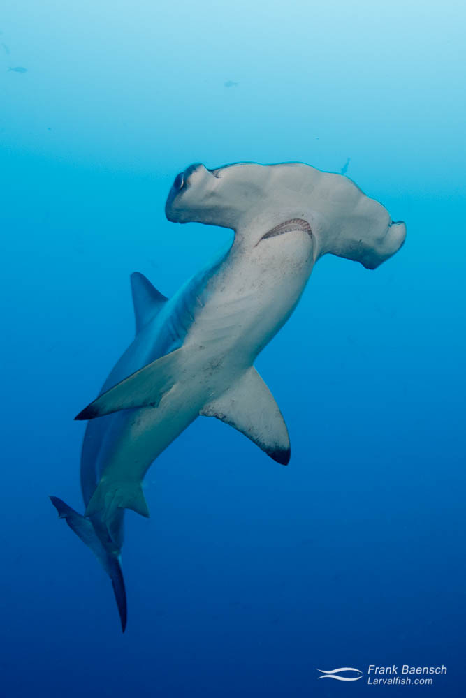 Ventral view of scalloped hammerhead shark (Sphyrna lewini) at Cocos Island. Costa Rica.