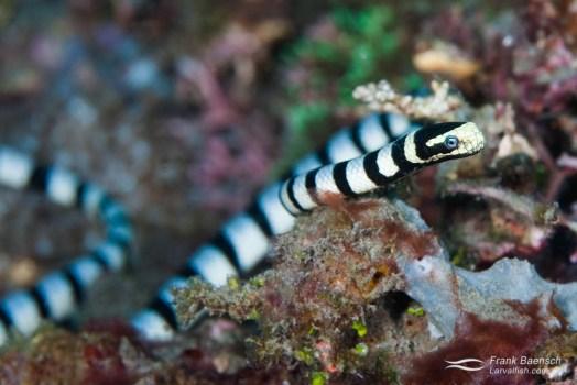 Colubrine sea krait, banded sea krait or yellow-lipped sea krait (Laticauda colubrina) in Lembeh, Indonesia.