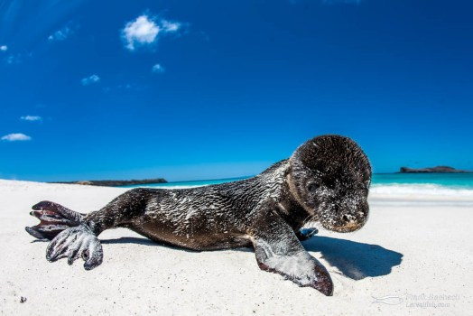 Galapagos Sea Lion (Zalophus wollebaeki) pup.