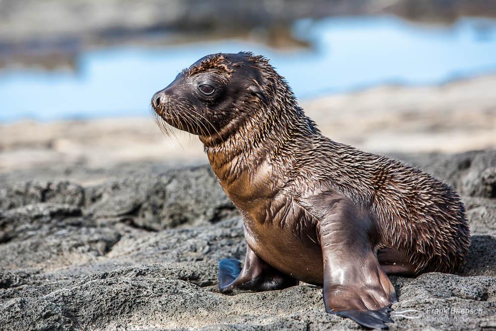 Galapagos sea lion (Zalophus wollebaeki) pup. Galapagos Islands.