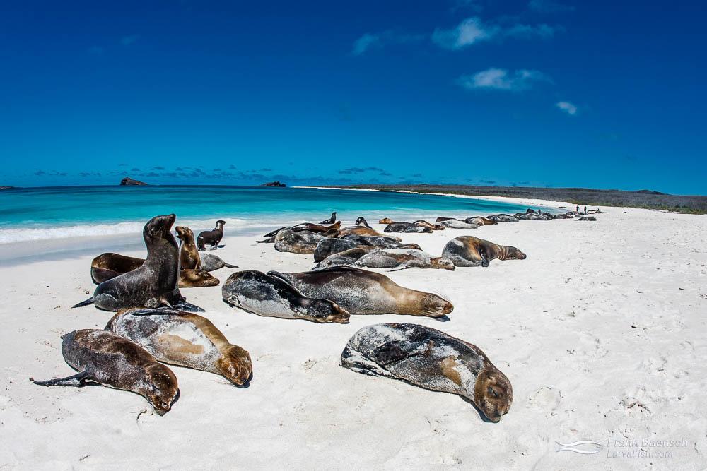Galapagos sea lions (Zalophus wollebaeki) on an Easpanola Island beach. Galapagos Islands.