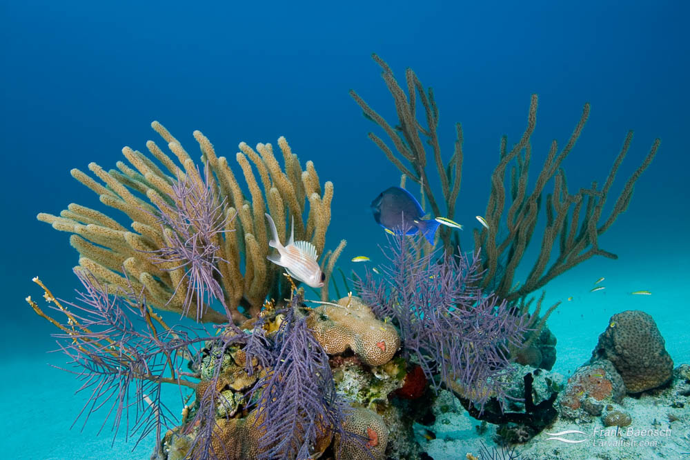 A squirrelfish and surgeonfish hover above a bommy in the Bahamas.