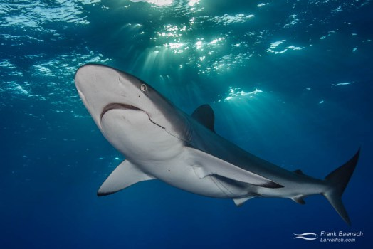 Silky shark (Carcharhinus falciformis) with fish hook and leader under sunrays.