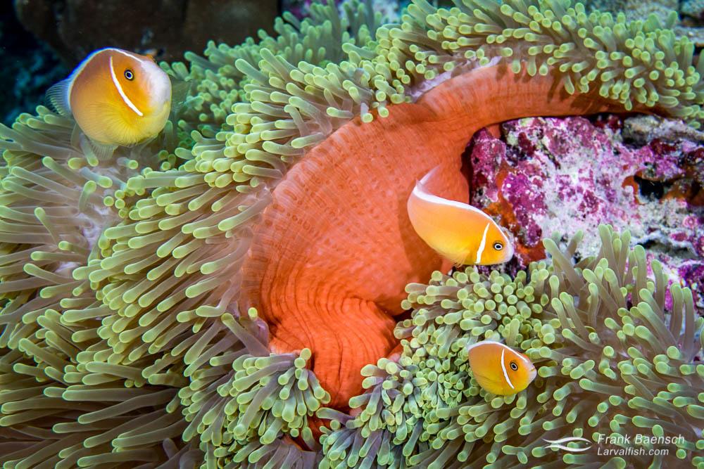 Skunk anemonefish (Amphiprion perideraion) trio in Palau.