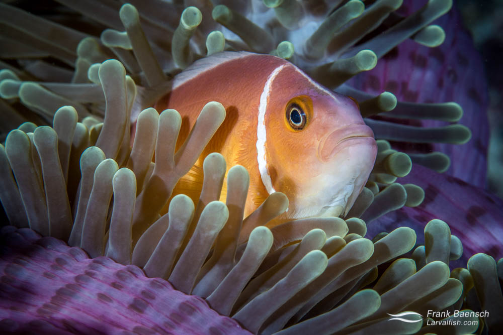 Skunk anemonefish (Amphiprion perideraion) peers out from its anemone. Palau.