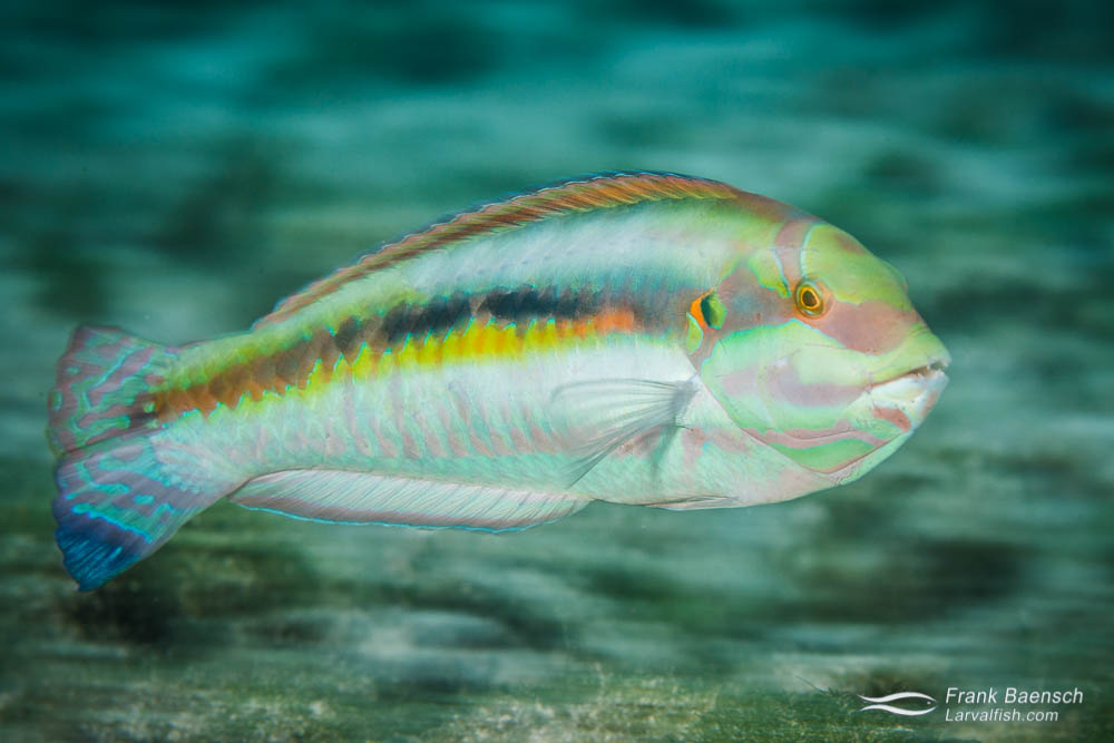 A slippery dick (Halichoeres bivittatus) wrasse races by. Bahamas.