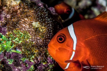 A spinecheek anemonefish female (Premnas biaculeatus) fanning its eggs as the male looks on in the background.