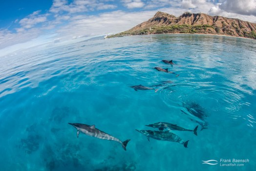 Hawaiian spinner dolphins (Stenella longirostris) cruise on the glassy ocean surface infront of Diamond Head, Oahu on a picture perfect day.