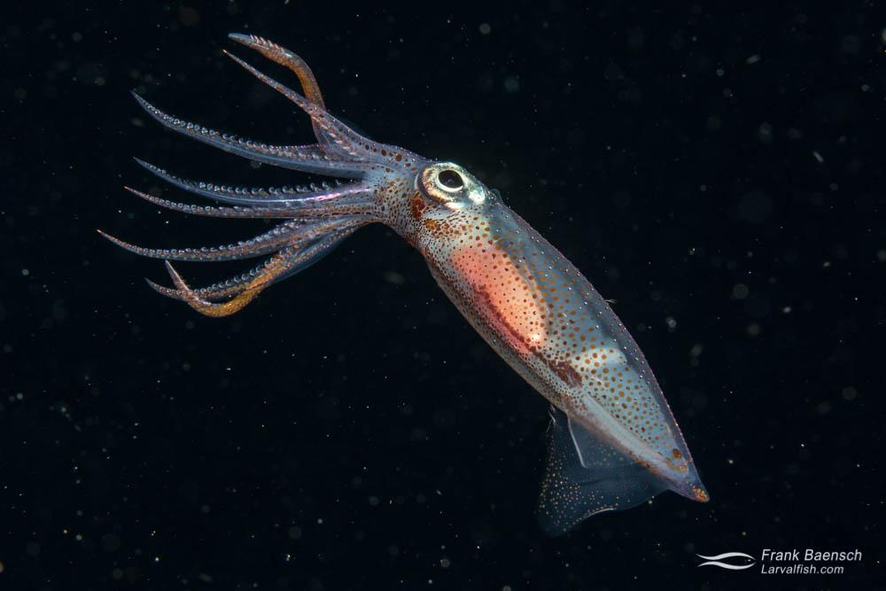 Squid (Cephalapod sp.) at night. Palau.