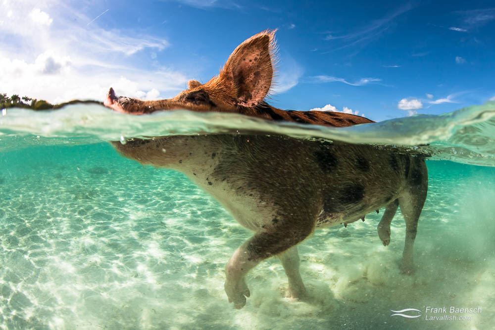 A swimming pig in the Bahamas.
