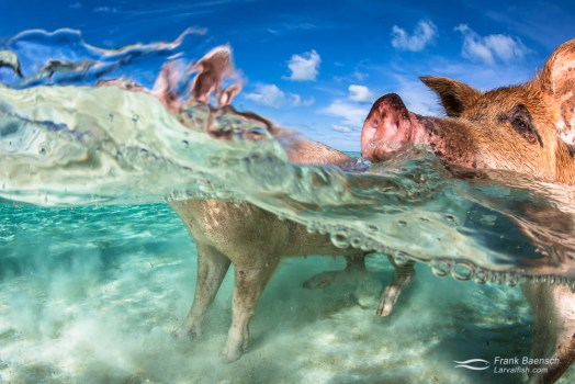 Pigs wading in the ocean in the Exumas, Bahamas.