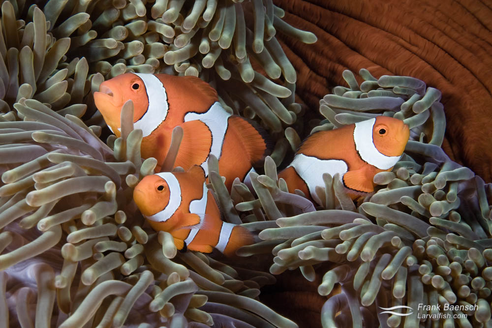 Three clownfish (Amphiprion ocellaris) in an orange mantled anemone in the Solomon Islands.
