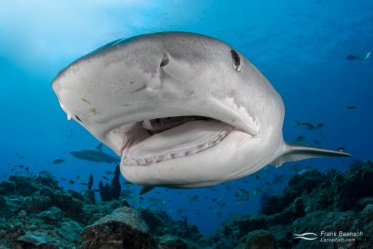 A curious tiger shark (Galeocerdo cuvier) in the Bahamas about to make contact.