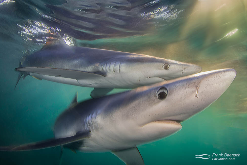 Two blue sharks (Prionace glauca) at twilight off Rhode Island. Rhode Island.