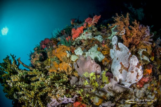 A giant frogfish (Antennarius commerson) pair blend in with colorful sponges on a deep reef.