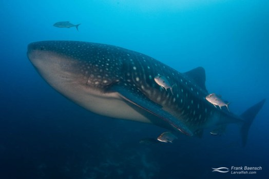 A whale shark (Rhincodon typus) on a deep reef in the Galapagos Islands.