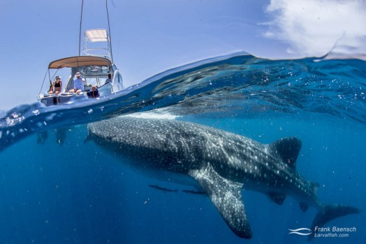 Whale shark (Rhincodon typus) surfaces with boat and spectators in the background.